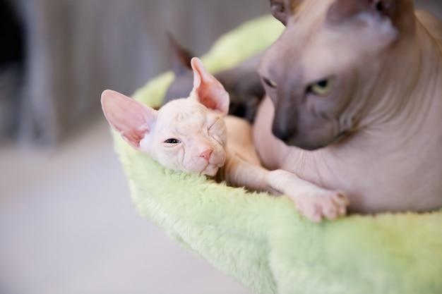 休憩と彼のお母さんと一緒に寝ている薄緑色の毛皮の背景に白い2ヶ月歳のドンスフィンクス猫 Premium写真