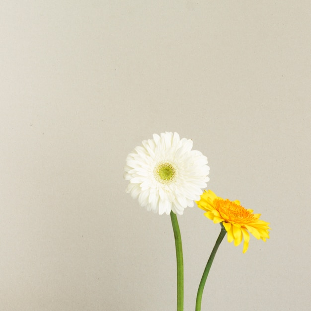 White and yellow daisy flowers Free Photo