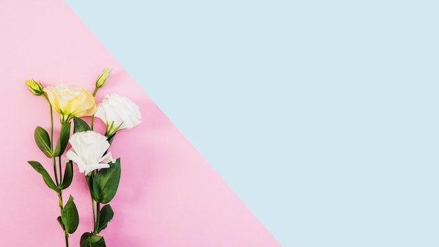 White and yellow flowers on dual pink and blue background Free Photo
