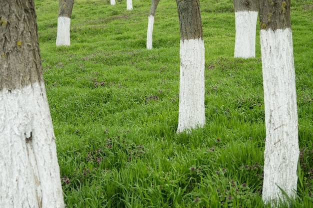 Whitewashed trees among the green grass Premium Photo
