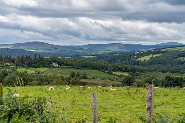 Путь wicklow путь с некоторыми овцами. Premium Фотографии