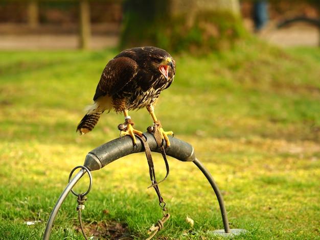 Colpo grandangolare di un falco nero in piedi su un pezzo di metallo Foto Gratuite