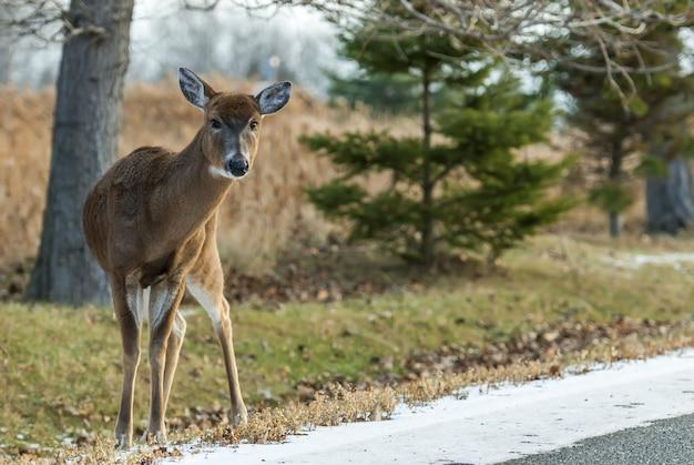 Colpo grandangolare di un cervo in piedi dietro diversi alberi durante il giorno Foto Gratuite