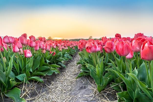 아름다운 맑고 푸른 하늘 아래 아름다운 핑크 튤립 꽃 농장의 와이드 앵글 샷 무료 사진
