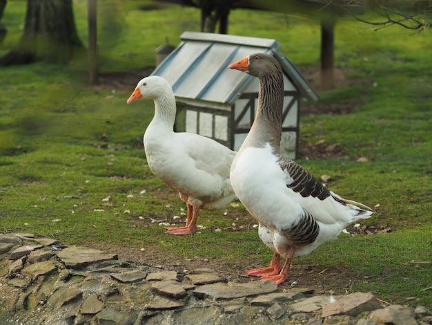 Широкоугольный снимок утки и гуся, стоящих рядом с небольшим домиком. Бесплатные Фотографии