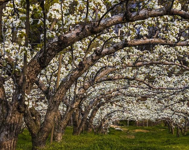 Широкоугольный снимок цветущего азиатского грушевого сада Бесплатные Фотографии