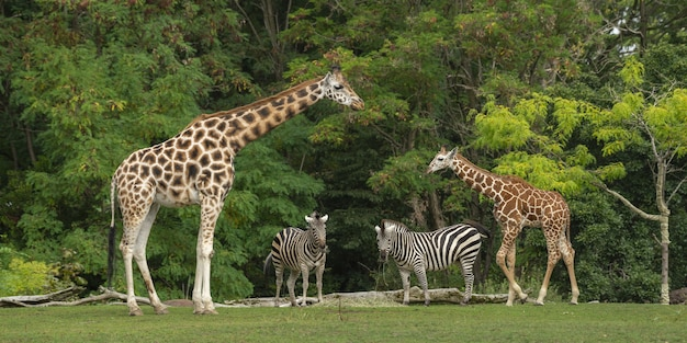 Wide shot of a baby giraffe near its mother and two zebras with green trees Free Photo