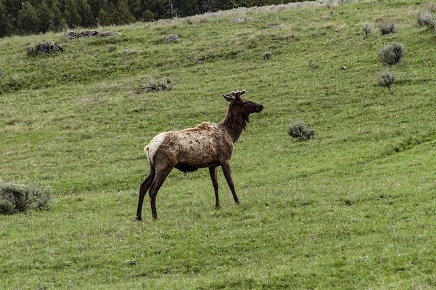 Ripresa a tutto campo di un alce nel parco nazionale di yellowstone in piedi su un campo verde Foto Gratuite