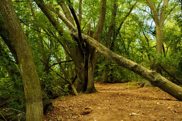 Wide shot of green trees and a fallen tree in a forest Free Photo