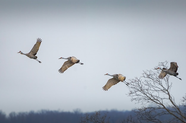 Четыре канадских журавля, летящие в облачном небе Бесплатные Фотографии