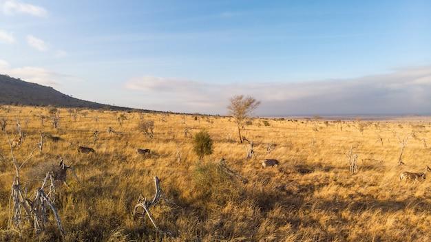 ツァボ西、ケニアのタイタヒルズの青い空の下のフィールドで放牧シマウマのワイドショット 無料写真