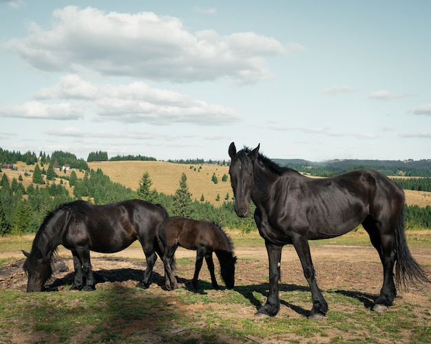 Wide shot of three black horses in the field surrounded by small fir trees under the cloudy sky Free Photo
