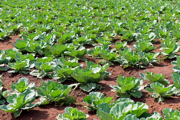 Wide view of cabbage plantation Premium Photo