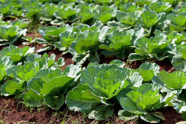 Wide view of cabbage plantation Premium Photo