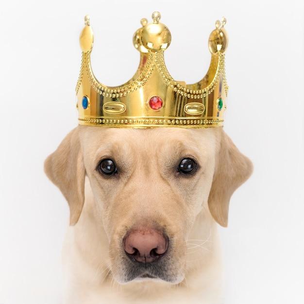 王様のような王冠の犬。 wihteの犬のクローズアップの肖像画 Premium写真