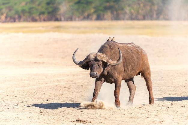 サバンナのアフリカの野生の水牛 無料写真