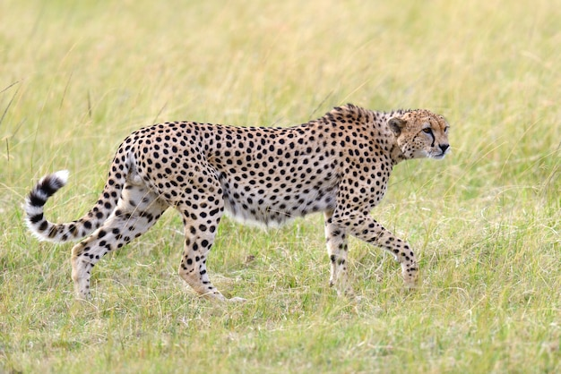 Ghepardo africano selvaggio, bellissimo animale mammifero. africa, kenya Foto Gratuite