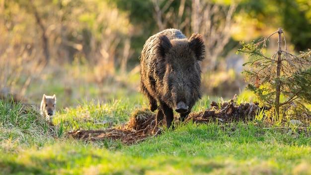 Кабан, sus scrofa, семейная мать и полосатый поросенок приближаются на поляну в солнечном свете. Premium Фотографии