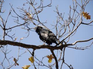 Wild crow in sequoia national park Free Photo