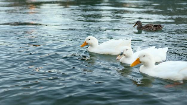 물에 떠있는 야생 오리 무료 사진