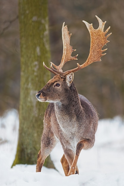 Wild fallow deer male standing in snow. Premium Photo