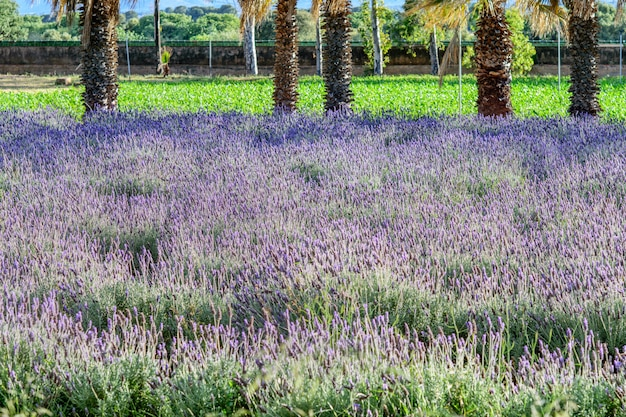 Одичалое поле цветков лаванды сирени в природном парке. весна, садоводство концепции. Premium Фотографии