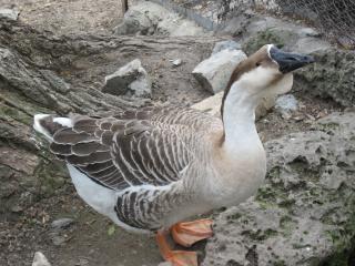 Wild geese  wildlife Free Photo