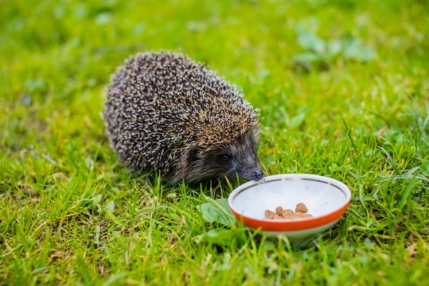 Wild hedgehog eating from a dog bowl.hedgehog eating dry cat food, summer garden.small grey prickly hedgehog gathering to drink milk or eat from the plate Premium Photo