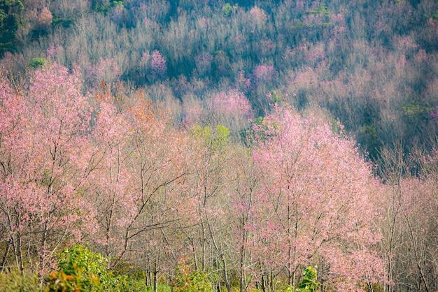 Дикая гималайская вишня, красивый розовый цветок сакуры в зимнем пейзаже Premium Фотографии