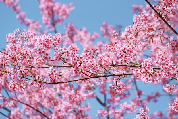 Wild himalayan cherry blossoms in spring season Premium Photo