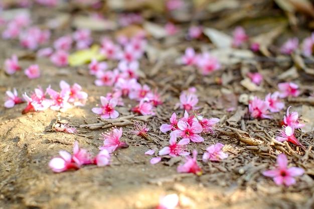 Wild himalayan cherry Premium Photo