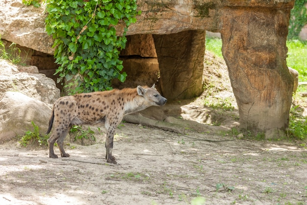 Дикая гиена бродит в зоопарке Бесплатные Фотографии