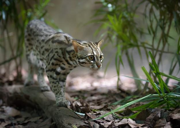 Дикий леопардовый кот охотится в кустах Premium Фотографии
