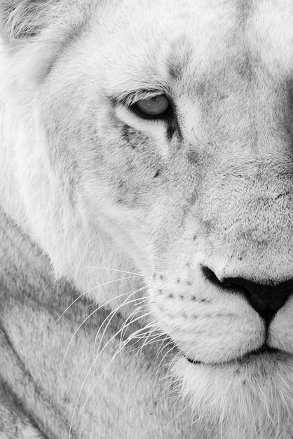 野生の雌ライオンのクローズアップ 無料写真