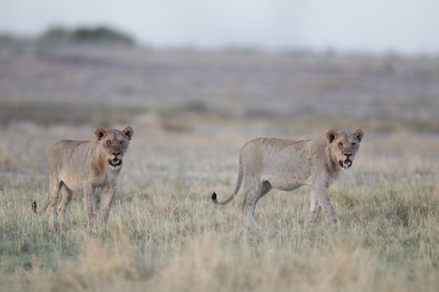 Дикие львицы в саванне Бесплатные Фотографии