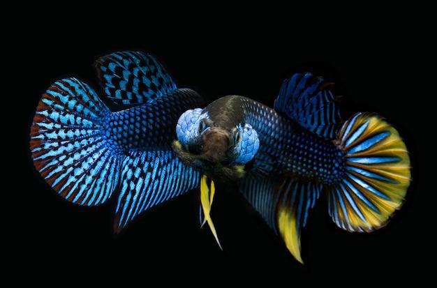 野生の自然ベタsplendensまたは黒い背景を持つ野生のシャムの戦いの魚。 Premium写真