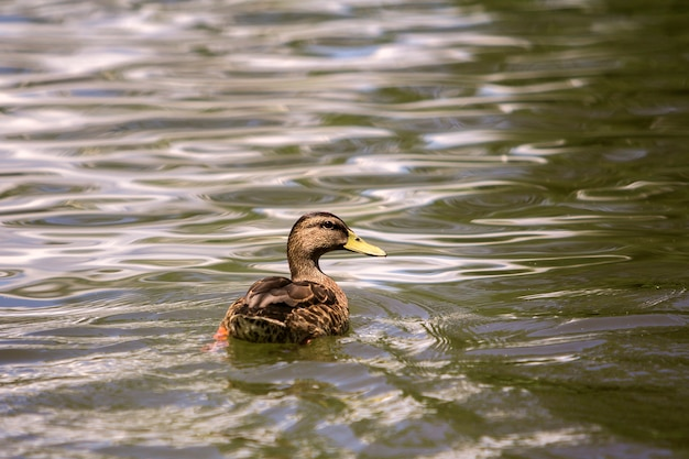 Wild nice brown bird female duck floating in bright lit by sun clear sparkling pond or lake water. Premium Photo