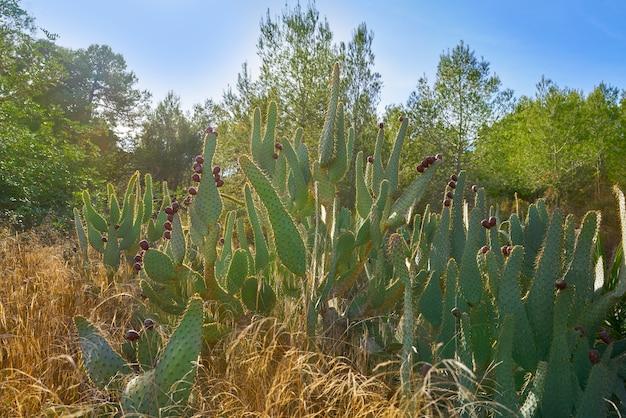 Wild prickly pear in nopal plant in mediterranean Premium Photo