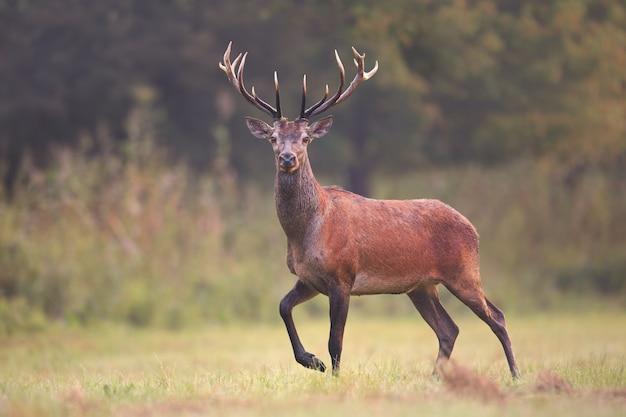 Wild red deer, cervus elaphus, walking on a meadow in natural environment. Premium Photo