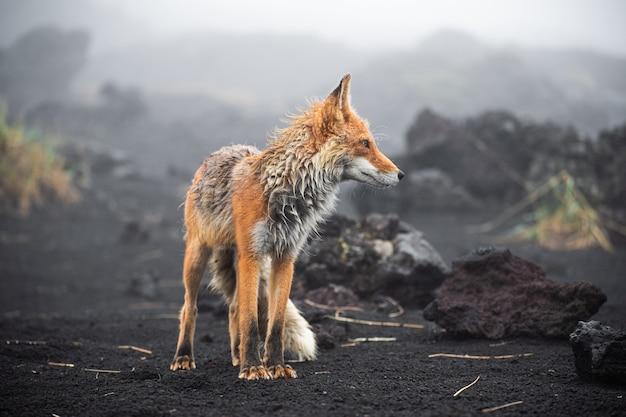 Wild red fox (vulpes vulpes beringiana) standing on black sand. kamchatka peninsula, russia Premium Photo