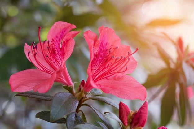 Wild rose  flowering in garden (rhododendron arboreum) Premium Photo