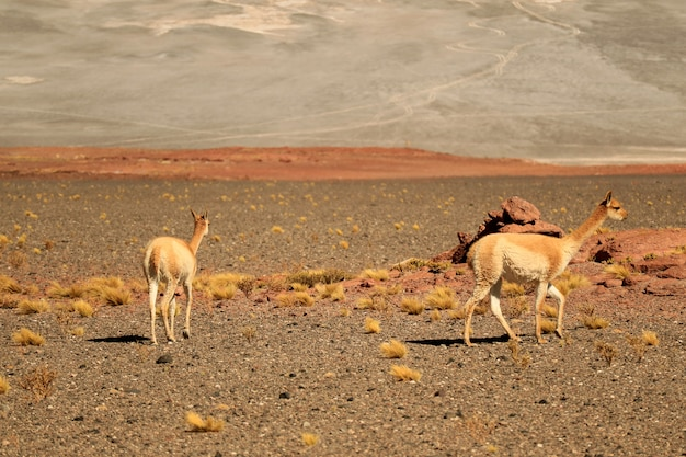 Wild vicuna grazing on the expanse desert of los flamencos national reserve, san pedro de atacama, chile Premium Photo