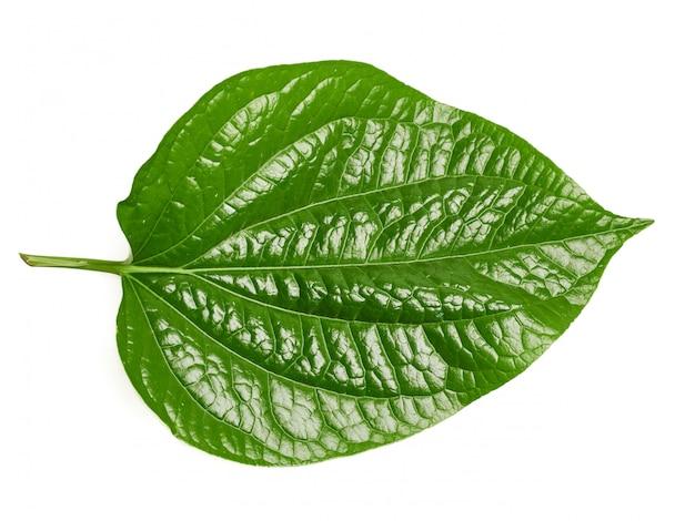 Wildbetal leafbushには多くの薬効成分があります Premium写真