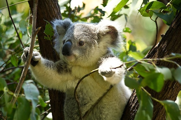 wildlife bear koala wild animal zoo Free Photo