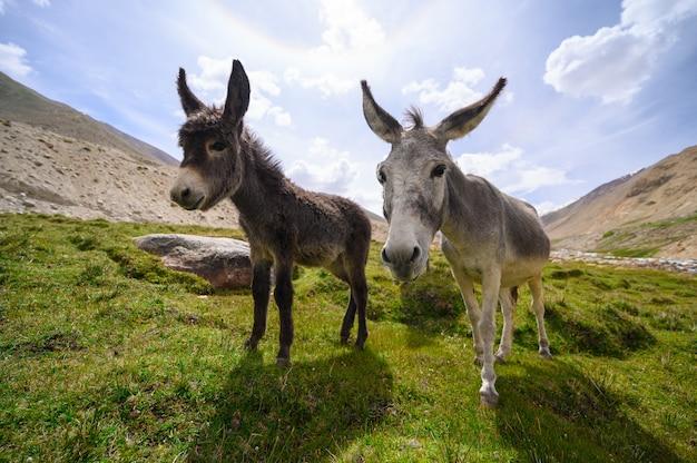 Wildlife donkeys on mountain Premium Photo