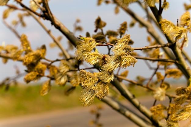 春にクローズアップで撮影した柳の花 Premium写真