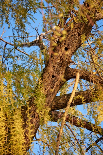 Willow tree with woodpecker hollow in spring forest. Premium Photo