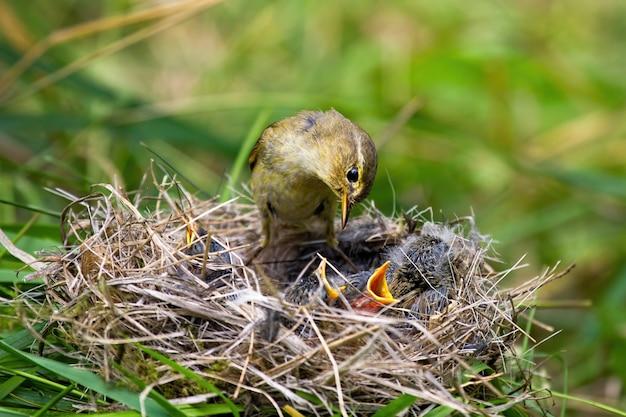 Willow warbler feeding little chicks on nest in summer nature Premium Photo