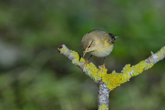 Ивовая певчая птица phylloscopus trochilus, мальта, средиземноморье Бесплатные Фотографии