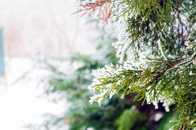 Winter Background, Close Up Of Frosted Pine Branch With